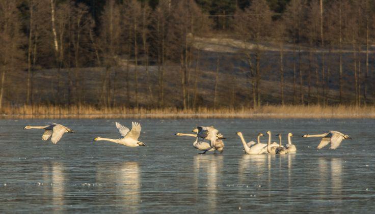 The last whooper swans leave the Folk Park of Saari on the 28th of December.