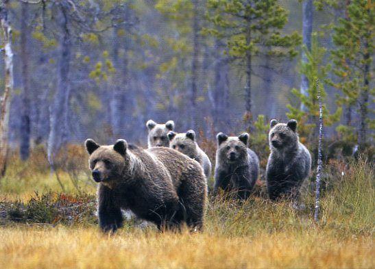 Kuvassa on karhuja joita voi nähdä hyvällä tuurilla Pohjanmaalla. Kirjoittanut:Nella;)