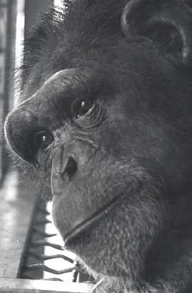 Chantek, one the first apes to learn sign language, dies at 39
