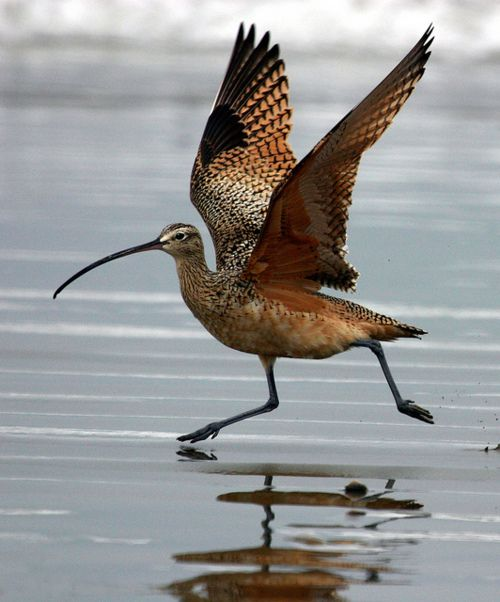 Long-billed CurlewShorebirds, Morro Bay, Curlew Wings Ext 1701X2048, Life Lists, Dowitch, Longbil Curlewspot, Long Bil Curlew, Numenius Americanus, Animal