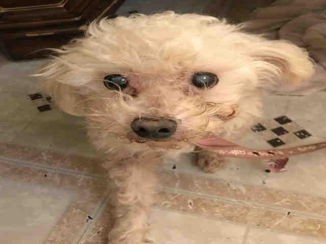 Poodle Miniature Dog For Adoption In San Antonio Tx Adn 746333
