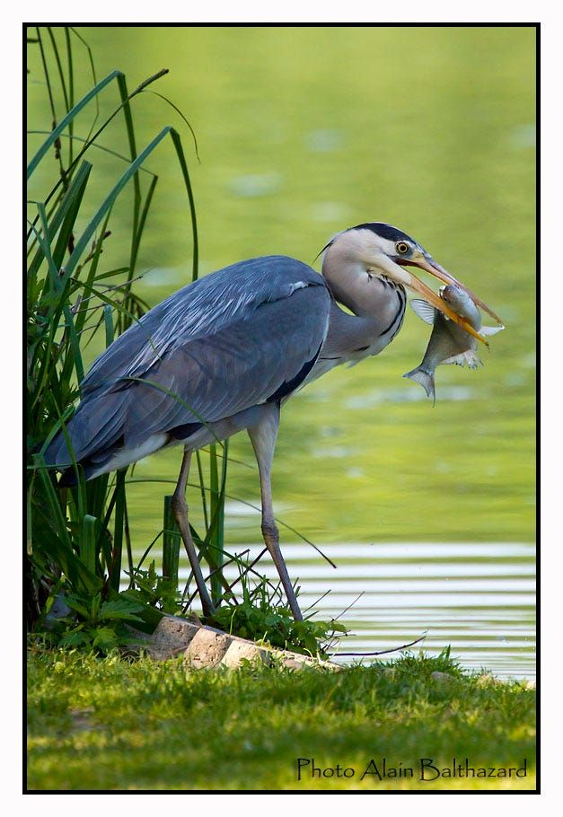Grey heron with fish by Alain Balthazard on 500px