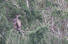 IMG_2963 Bald Eagle immature
