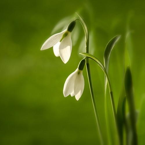 84 best Schneeglöckchen (Galanthus) images on Pinterest   Garten ...