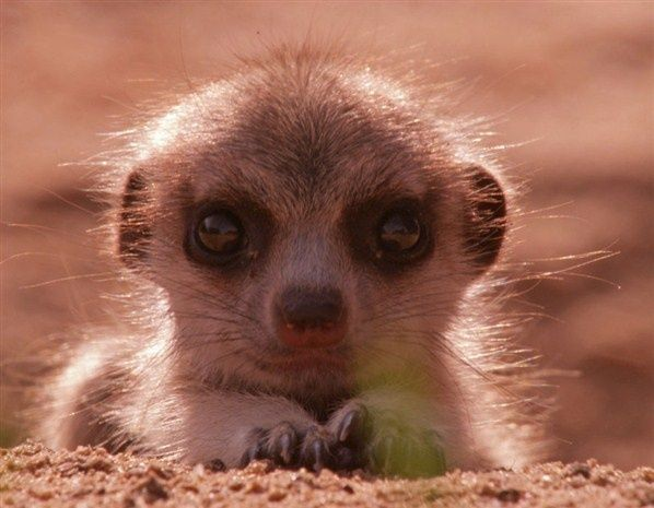 A tiny meerkat warming its belly on the ground.