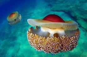 <b>Life of Sea</b>: Life of Mediterranean Jelly | ОКЕАН | Jellyfish, Sea ...