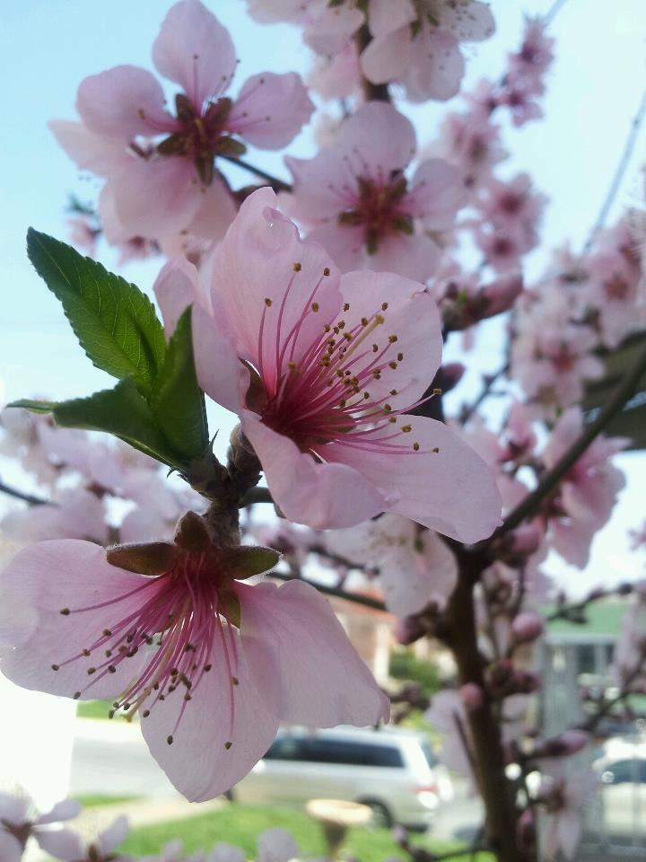 Blossoms on a peach tree