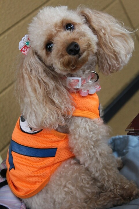 toy poodle BY HAPPY♥ dog doggy Pinterest Poodles