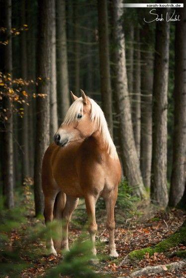 Haflinger Nailah im herbstlichen Wald   Pferdefotografie München