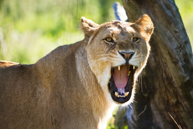 lioness ROAR | you guys made me ink! | Pinterest