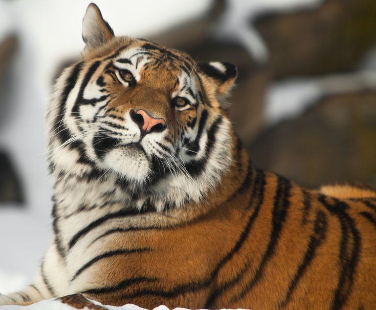 All Tigers!