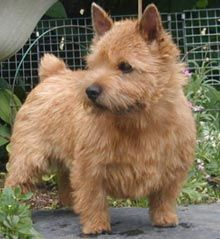 Norwich Terriers are fairly quick to understand in training, but at times they actually have a mind that belongs to them. They also have an exceptionally obstinate streak, and this makes these little folks difficult to housebreak. They respond positively to training if it really is conducted in a regular and firm way. Norwich Terriers are fond of learning hints, and will do wonderfully if they are given dog obedience training.