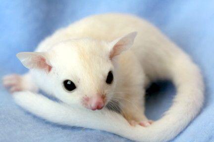 black eyed albino sugar glider....love them