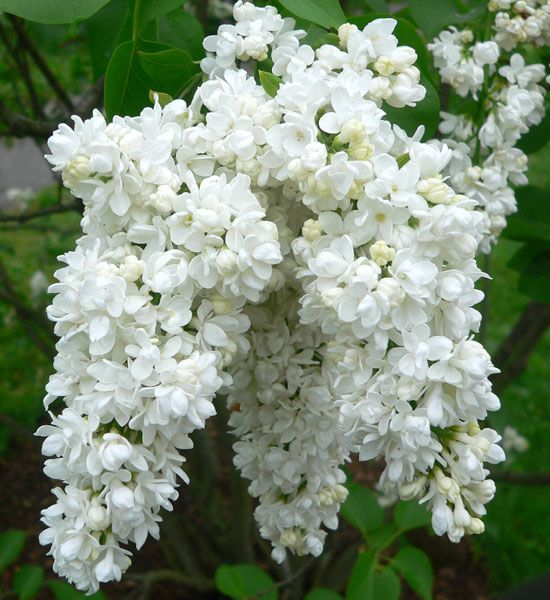 'MISS ELLEN WILLMOTT' (Syringa vulgaris): 19th Century double French. Named for a wealthy English plantswoman who was one of only two women (out of 60 recipients) to receive the first Victoria Cross Medal of Honour in 1897.