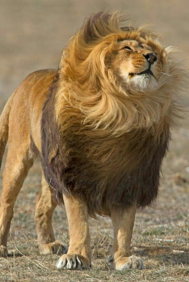 For that casual wind-tousled look.... ahhh... I'm the mane man.