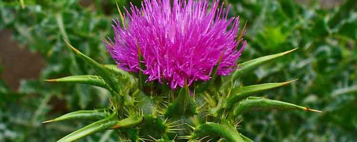 For more than 2,000 years, milk thistle has been an organic treatment for many common conditions. Learn about the top 6 uses for milk thistle.