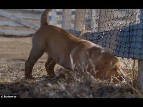 Budweiser - Puppy Love