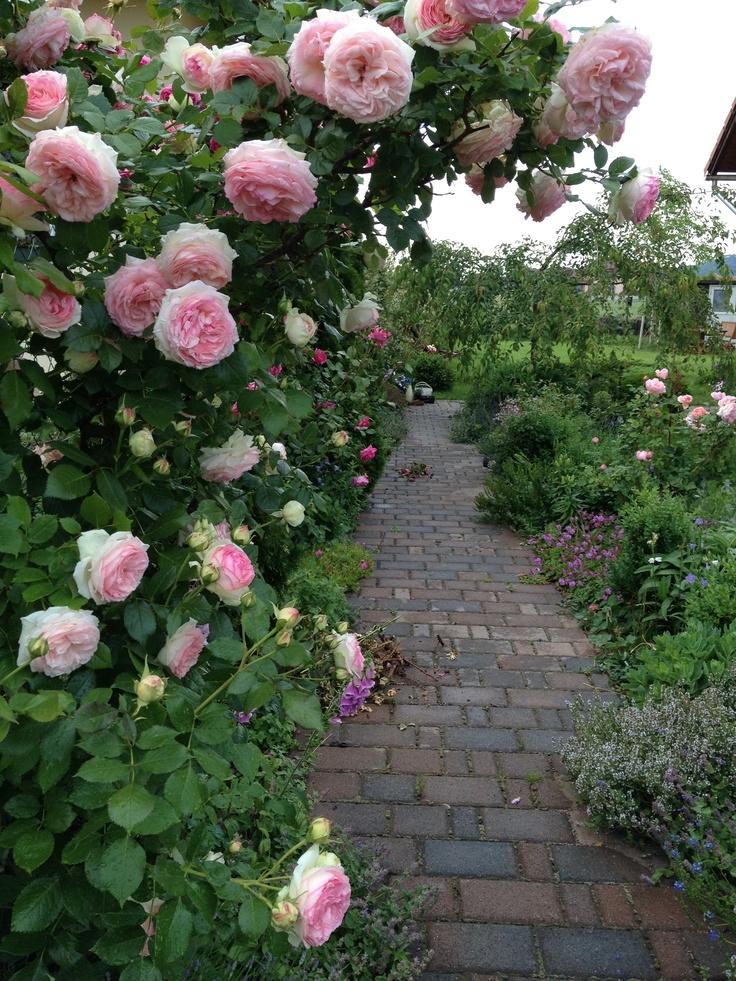 1000 images about roses on pinterest gardens rose bush. Black Bedroom Furniture Sets. Home Design Ideas