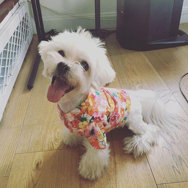 Happy Songkran 2017 #maltesegram #doggy #puppy #nirun #photooftheday #maltesepuppy #malteseofinstagram #maltese101 #maltesedog #nirunthemaltese #whitelittlething #whitelittletail #mylove #photo #mydogiscutest #mydog #mypuppy #mypuppylove  #マルチーズ #犬 #パッピー #マルチーズザドッグ #愛犬