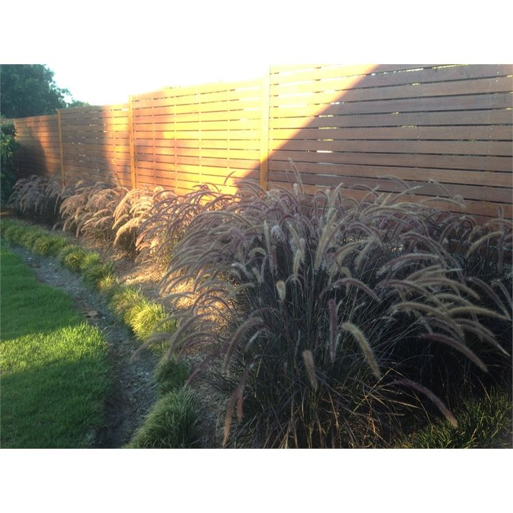 140mm Pennisetum Rubrum Purple Fountain Grass I/N 3801127 | Bunnings Warehouse