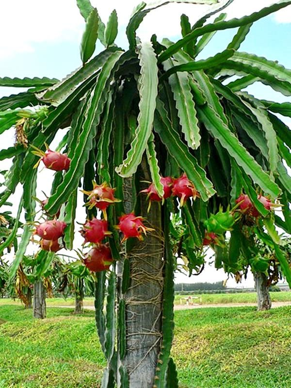 planta pitaya 3