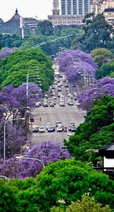 Jacarandas - Buenos Aires