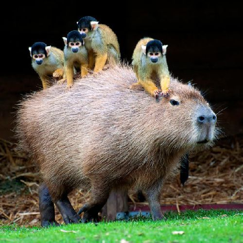 Mischievous squirrel monkeys appear to be enjoying the free transport as they ride around on the back of a capybara.