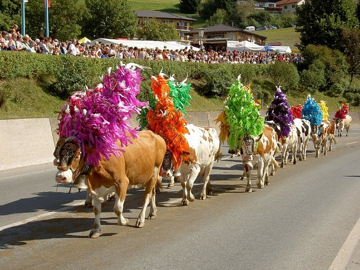 Alpine cows decorated with garlands and flowers and bells ...