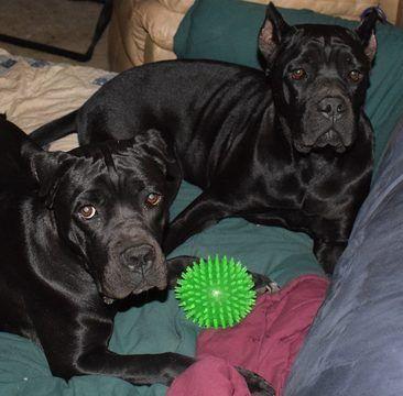 Cane Corso puppy for sale in DAYTON, TX. ADN-32585 on PuppyFinder.com Gender: Female. Age: 9 Months Old