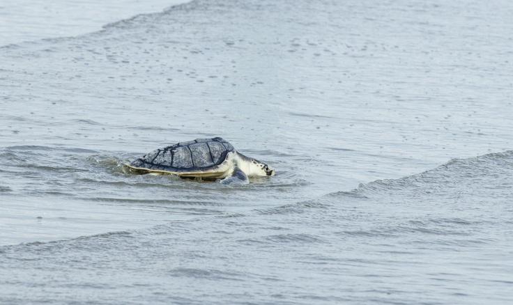 Kiawah Island Sc Turtles
