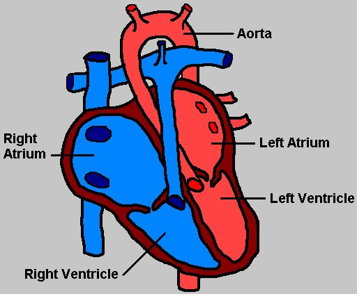 heart diagram – amazing, Muscles
