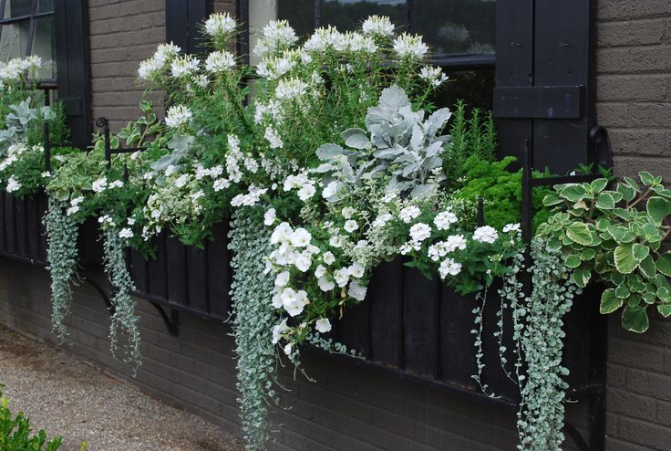 Window box with white cleome