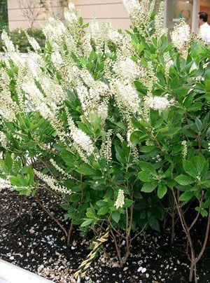 Die Zimterle bringt Vanilleduft in den Garten