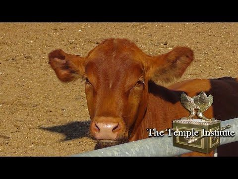 To ready for the final redemption, Israelis take red heifers by the horns | The Times of Israel