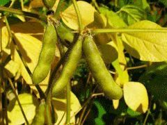 Glycine max Soya Bean