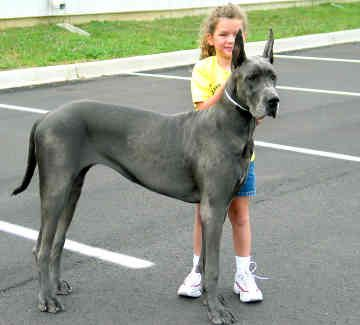 A girl and her Great Dane dog