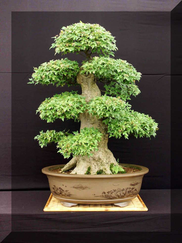This Acer Buergerainum has been growing since approximately 1930 and stands over 1Mtr tall and 70cm wide, takes 2 people to carry it, and 3 to put it on the show stand.  This tree can be seen at many of the shows we attend during the year.  Bonsai Trees Southampton, U.K based Bonsai Nursery