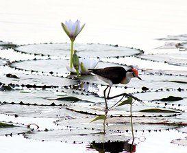 #Lotus bird #Arnhem land.  www.monashgroup.com.au