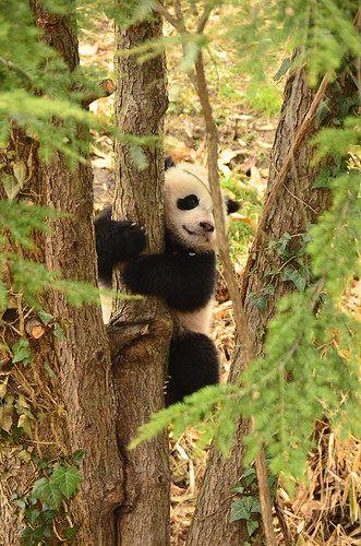 Bao Bao - Panda cub   140402 cd 407   Craig Salvas   Flickr