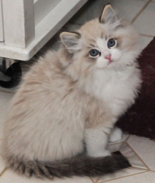 Seal Lynx Bicolor Ragdoll. they flop in your arms when you pick them up