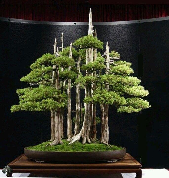 37 best Bonsai plants images on Pinterest | Bonsai plants, Bonsai ...