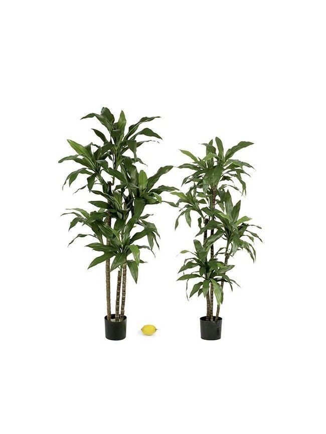 Dracaenas o dracenas artificiales de diferentes alturas - Plantas para el salon ...