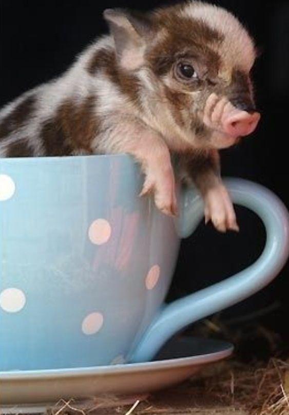485 besten schwein pig bilder auf pinterest ferkel schweinchen und kleine schweine. Black Bedroom Furniture Sets. Home Design Ideas