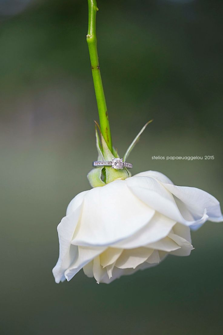 Wedding ring rose