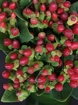 Hypericum berries.  One of my fav things I like to put in my flower arrangements.