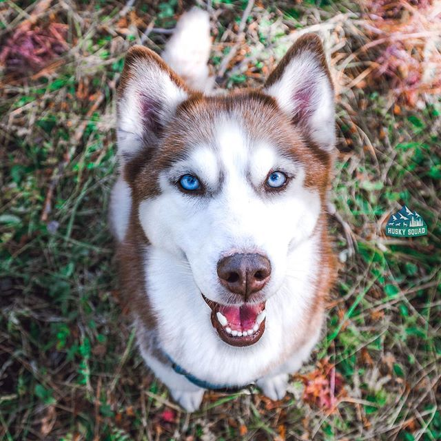 Pet Supermarket Discount Code >> Best 25+ Red husky ideas on Pinterest | Red husky puppies, Red siberian husky and Adorable puppies