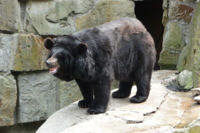 Fewer than 10,000 Japanese black bears remain in the wild due to poaching and habitat destruction from urbanization and timber farming. Sign this petition to protect the Japanese black bear from extinction before it's too late.
