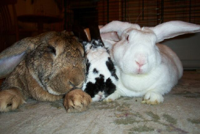 Rabbits FAQ - a list of some of the most frequently asked questions and answers about Rabbit care - spay, neuter, diet, litter training, health, behavior, toys and more for your bunny - House Rabbit Society