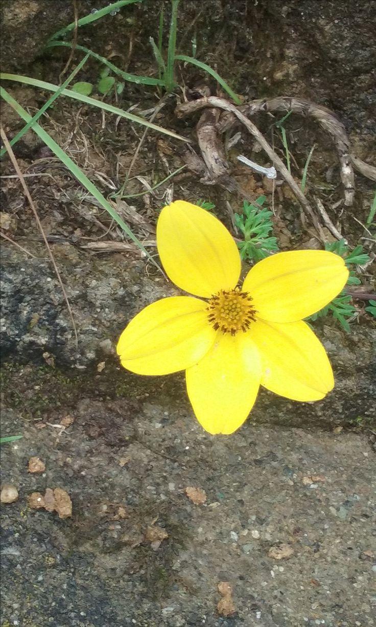 Verbena amarilla