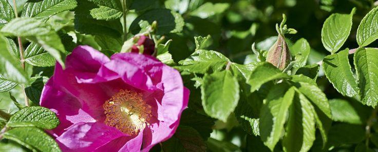 Ampiamente diffusa in tutta Italia, la Rosa canina rallegra giardini e strade con i suoi cespugli adorni di fiori delicati e bacche dal colore vivace. Rappresenta una fonte naturale di vitamina C r...